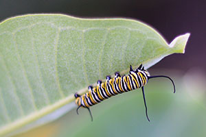 monarch-caterpillar-courtney-celley-usfws-300[1]