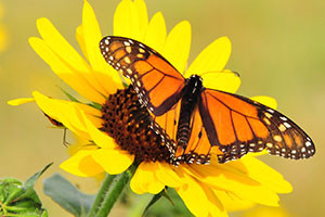 monarch-sunflower-lacreek-nwr-tome-koerner-usfws-300[1]