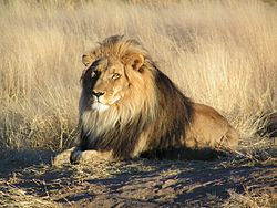Lion_waiting_in_Namibia